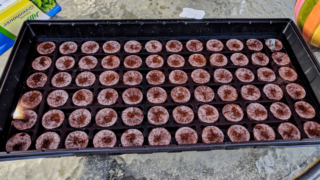 my little seed greenhouse started out as these flat brown pellets