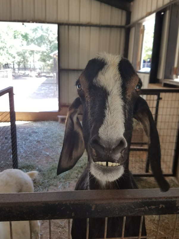 a goat says hi from a barn at the Austin Zoo