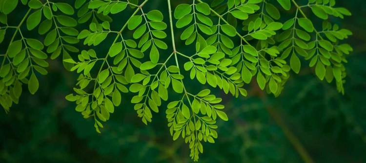 The Moringa Powder and Its Processed Products