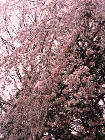 下鴨神社しだれ桜