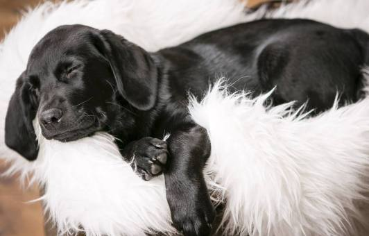 MorLove-Pet-Photographer-Studio-Black-Lab-Puppy