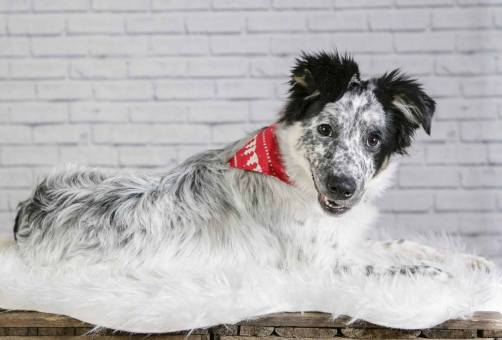 MorLove-Pet-Photographer-Studio-Collie-Puppy