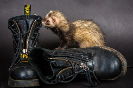 MorLove-Pet-Photographer-Studio-Ferret