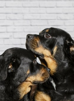 MorLove-Pet-Photographer-Studio-Rottweiler