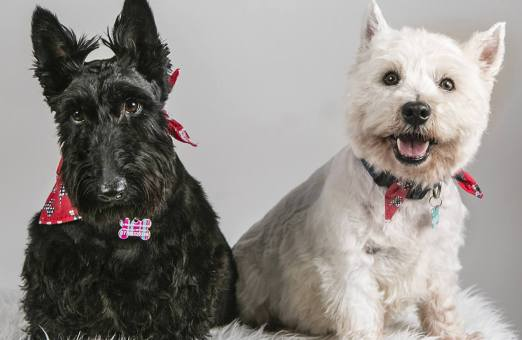 MorLove-Pet-Photographer-Studio-Westie-Scottie-Dogs