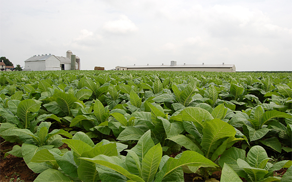 Tobacco Remains Va S Top Organic Commodity Morning Ag Clips