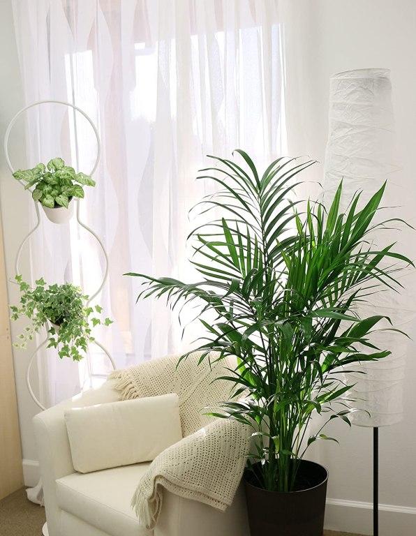 coasta cat plant