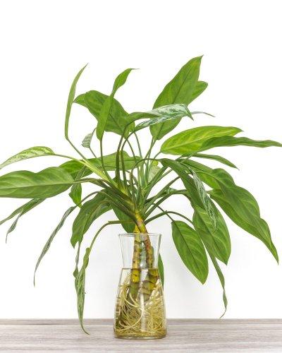 Chinese Evergreen & Dumbcane