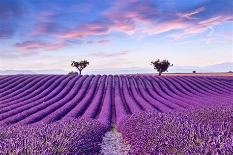 Lavender Route in France