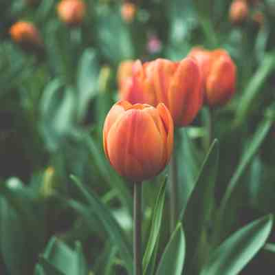 Friday Five in May…Mother's Day, Tulips and Sugar