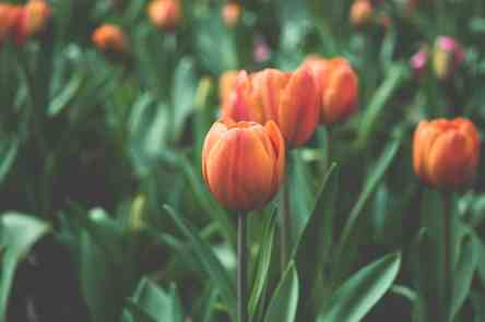 tulips and spring