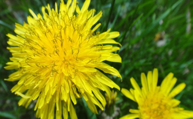 Dandelion herb - Top 10 Home Remedies For Obesity And Weight Loss