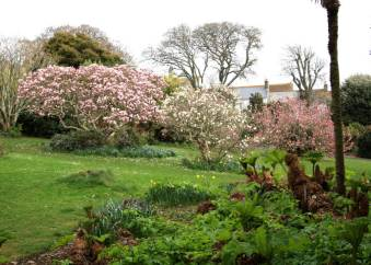 Morrab Gardens: Magnolias flowering on the main lawn, viewed across an enormous clump of emergent Gunnera manicata