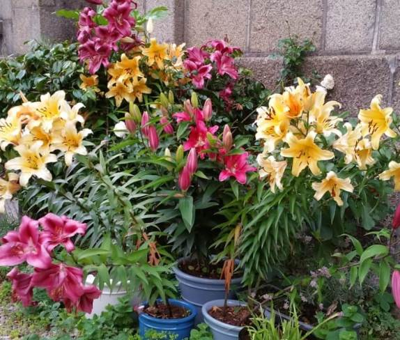 Lilies in full bloom, growing in containers at the front of a Penzance house.