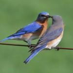Sialia_sialis_Michigan_Love_Birds_NC