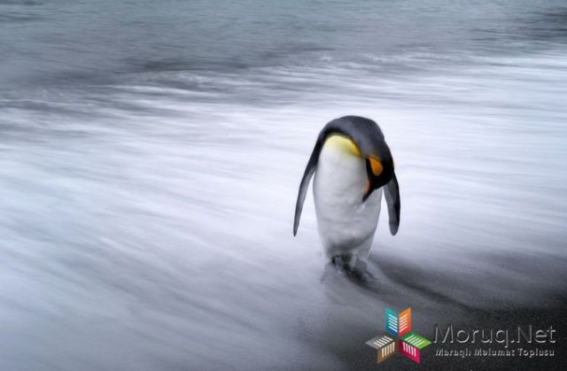 Lone Penguin - 2013-11-05_228327_nature.jpg