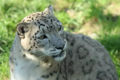 34_Zoo_Schneeleopard