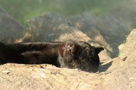 36_Zoo_Leopard