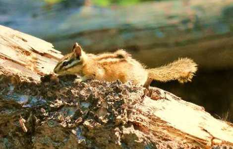 chipmunk-medium-web-view