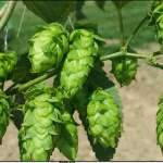 Ohio Farmers Hop On The Beer Wagon