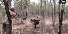 طريقة صيد الخنزير في تونس
