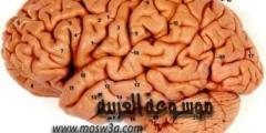 كيفية قيام الدماغ ببناء المعني