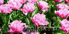 تعريف النباتات الزهريه