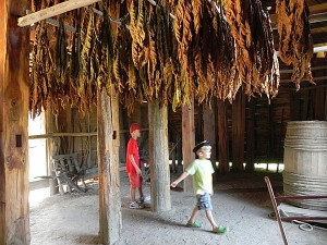 Tobacco drying at Great Hopes Plantation
