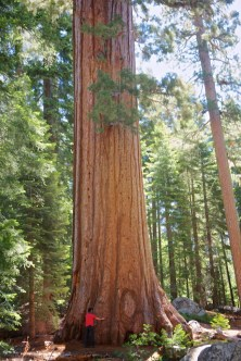 Well worth stopping at, the giant Sequoia trees