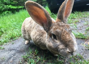 Pet rabbit Jessica was set free in the Poconos, but decided to stay around the house