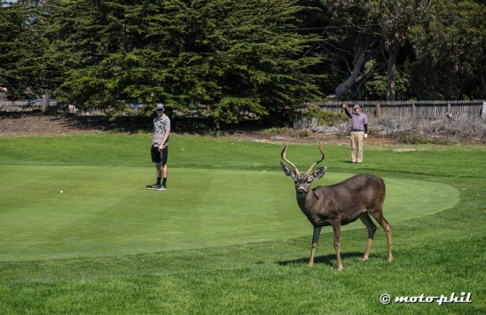 They have special greenkeepers in Point Pinos