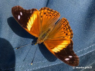 Brown yellow butterfly in Mexico