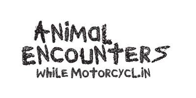 Motorcycle VS Sheep!