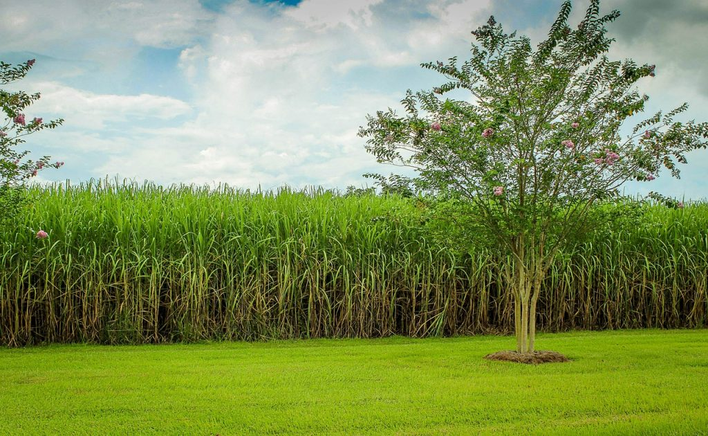 A field of sugar cane