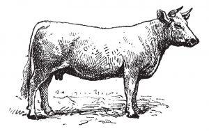 Une chemise repassée dans la gueule d'une vache
