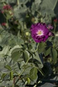 Rose Rhapsody