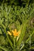Fleur-de-Courgette
