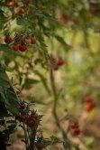 Tomates cerise, Barbaniaka