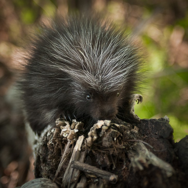 Baby Porcupine (Erethizon dorsatum) Sniffs at Branch - captive animal