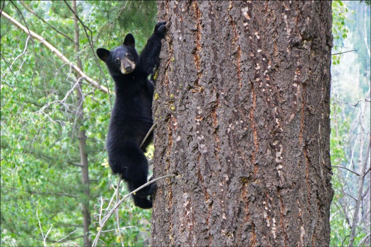 Baby Bear in Chilcotins-Aug 2014
