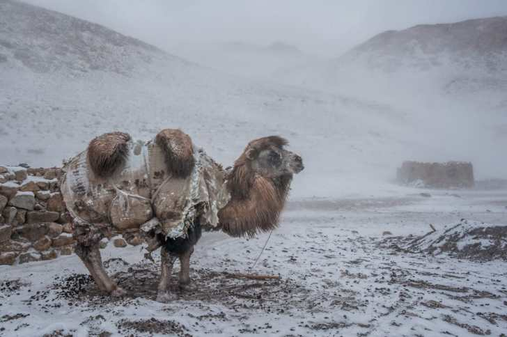 A Bactrian camel stoically braves a snowstorm at a Kyrgyz winter camp.