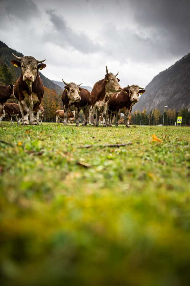Cows in Slovenia