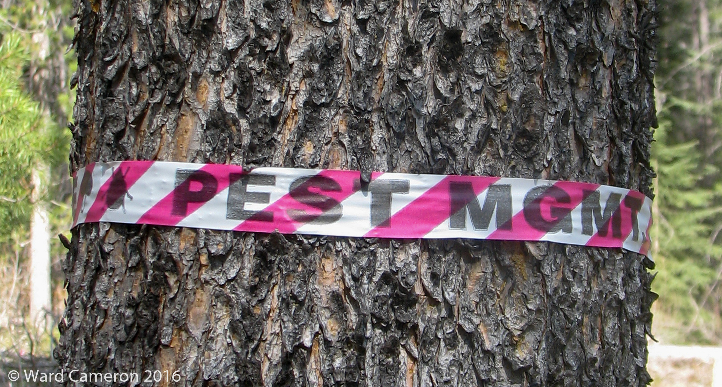 Mountain Pine Beetle Notice