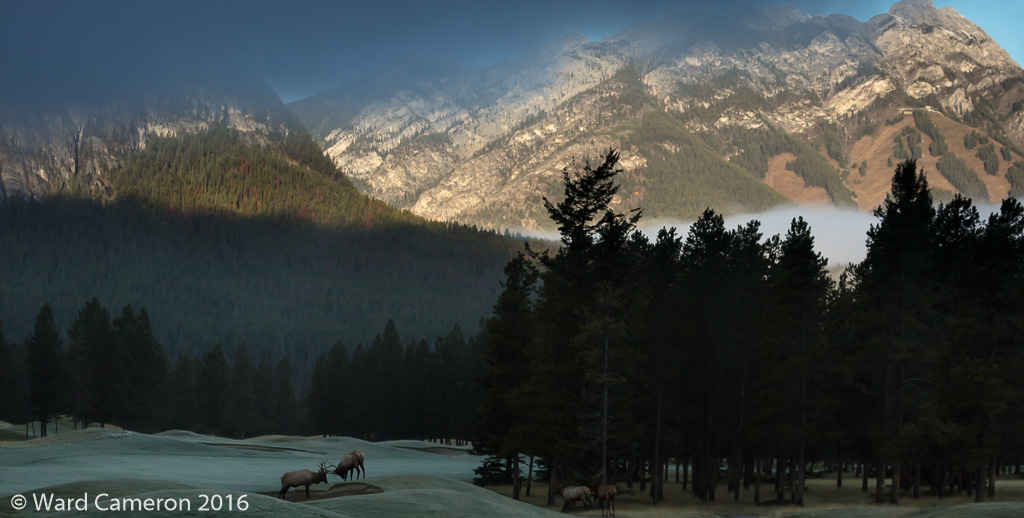 Young bull elk sparring at sunrise in Banff National Park, Alberta