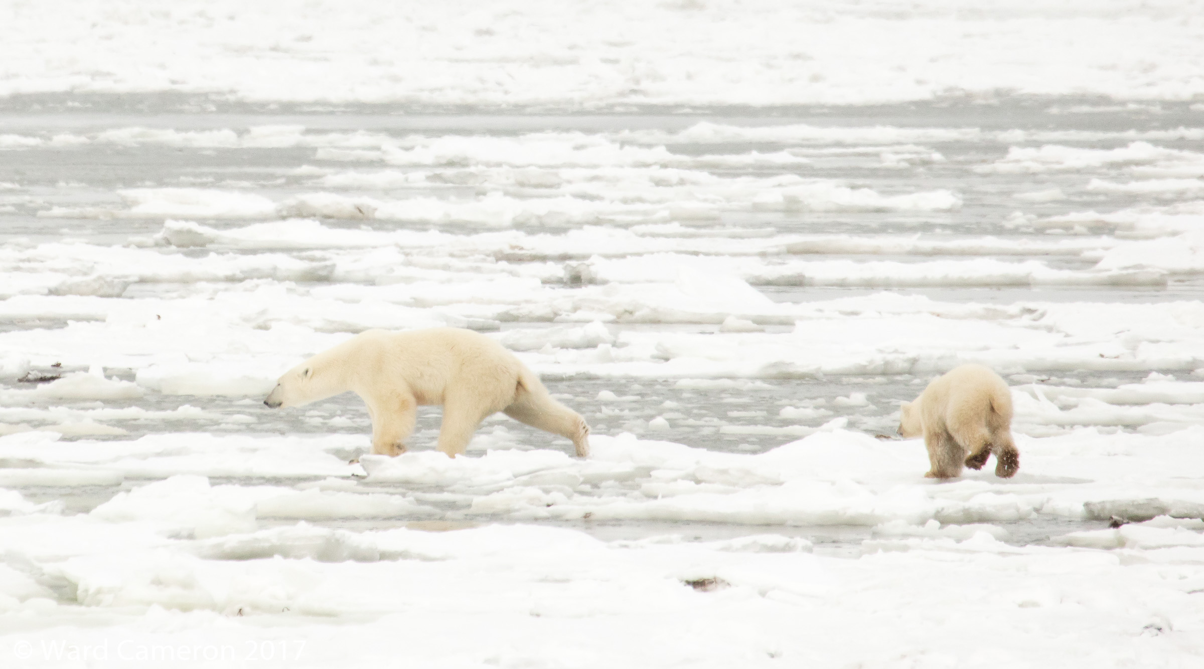 Polar bears jumping from ice floe to ice floe.