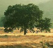 malibu-creek-state-park-oak-tree