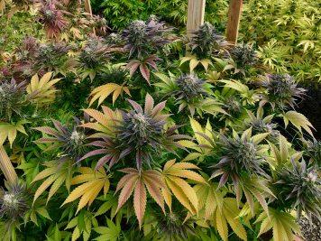 Mountain Sun Botanicals outdoor garden with multiple flower strains
