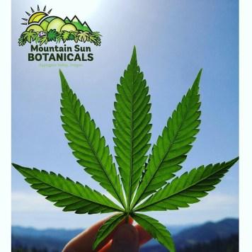 Mountain Sun Botanicals - leaf and logo image