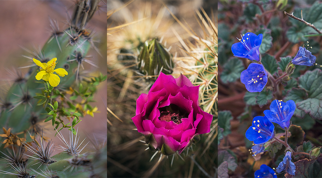 Arizona Wildflowers Guide Sonoran Desert