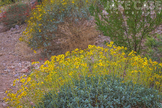 brittlebush arizona wildflower